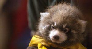 Lincoln Park Zoo - Baby Panda