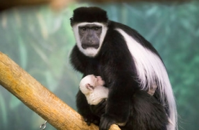 Lincoln Park Zoo Welcomes Baby Monkey
